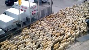 pecore-in-citta